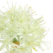 Crema Allium bianca L76cm