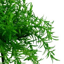 Cespuglio di asparagi verde 25 cm