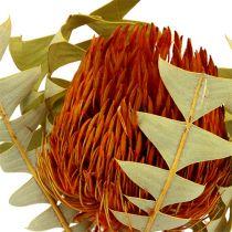 Banksia Baxterii Orange 8pz