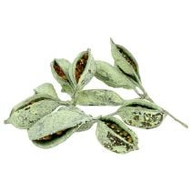 Brachyciton glassato verde 500g