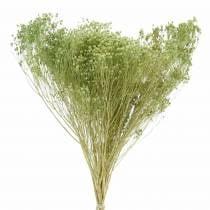 Fiori secchi Ginestra Bloom verde chiaro 150g