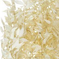 Ruscus ramoscelli di Ruscus essiccati sbiancati in fasci di 4-6 pezzi