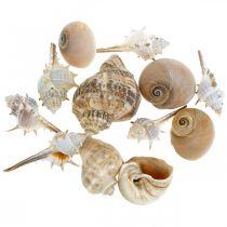 Conchiglie decorative e conchiglie di lumaca vuote bianche, decorazione naturale marittima 350g