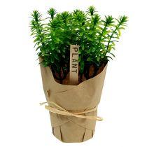 Erbe in vaso 16 cm verde