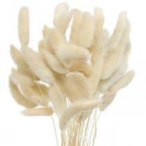 Lagurus secca coda di coniglio erba sbiancata 40-50 cm 50 pezzi