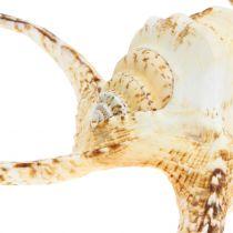 Lumaca di mare Lambis natura 22cm