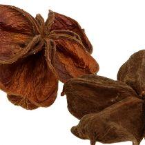Land lotus nature 50pcs