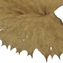 Foglie di loto secche natura secca decorazione ninfea 50pz