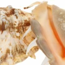 Lumaca di mare Lambis naturale 14cm 10pz