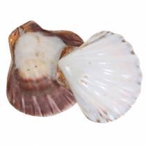 Capesante conchiglia lucidate 12-13 cm 4 pezzi