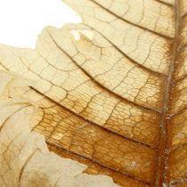 Foglia di quercia sbiancata 35p