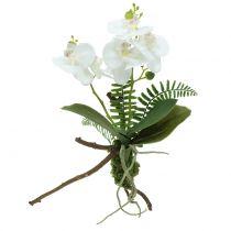 Orchidea bianca con mossballs e radici 36cm