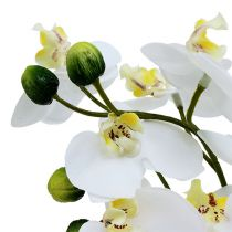 Orchidee in vaso 30 cm bianche