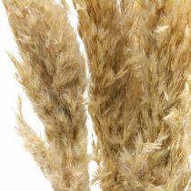 Decorazione a secco erba di pampa, essiccata, sbiancata 70-75 cm 6 steli