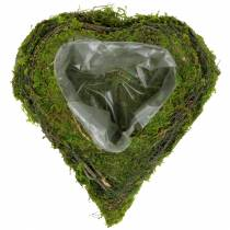 Pianta cuore di vite, muschio 22 cm x 20 cm H7 cm