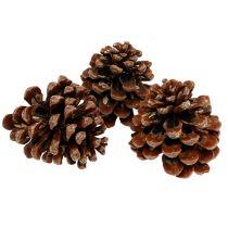 Pinus Pinea medio 10 / 14cm natura 50p