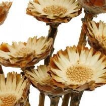 Protea Compacta Rosette Zucchero Fiori Secchi Naturali 8pz