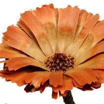 Repens rosetta naturale 6-7cm 50p