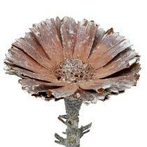 Repens rosetta 6-7 cm bianco lavato 25p