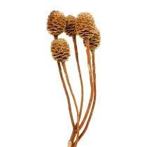 Sabulosum 4-6 teste per ramo (24) 200 pezzi