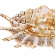Millepiedi lumaca di mare naturale 11-15 cm 10 pezzi