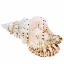 Lumaca di mare lumaca di rana gigante naturale 18-20cm