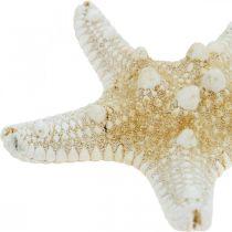 Decorazione da tavola Starfish Nature Maritime 5-8cm Vera stella marina 20 pezzi