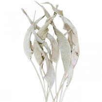 Foglie di Strelitzia lavate bianche, essiccate 45-80 cm 10 pezzi