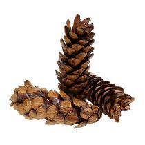 Coni Strobus 15-20 cm verniciati 100 pezzi