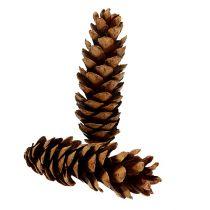 Coni Strobus 20-25 cm verniciati 50 pezzi