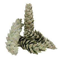 Coni Strobus come decorazione naturale 15 cm - 20 cm verde 50 pezzi