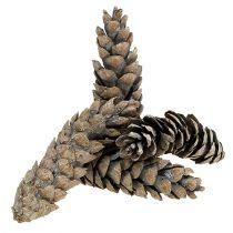 Strobus coni 15cm - 20cm bianco lavato 50pz