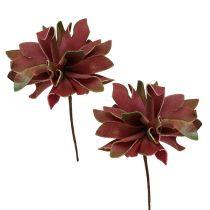 Succulente rosso scuro Ø10cm 12 pezzi