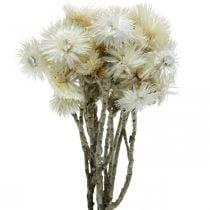 Fiori secchi Cap fiori bianco naturale, fiori perenni, bouquet di fiori secchi H33cm