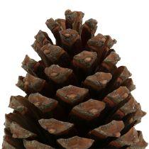 Coni Pinus Maritima 10cm - 15cm naturali 3 pezzi