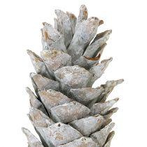 Pigne di zucchero bianco lavato 20 cm - 30 cm
