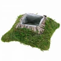 Piantare muschio cuscino, corteccia 25 cm × 25 cm