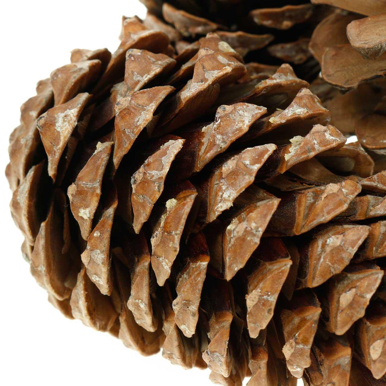 Pinus Pinea grande 14/18cm natura 50p