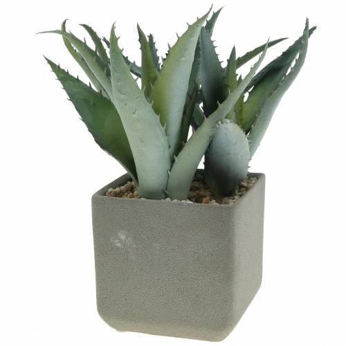 Agave succulenta in vaso H17cm