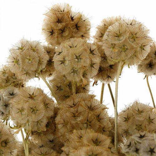Scabiosa secchi natura Scabiosa fiori secchi H50cm 100g