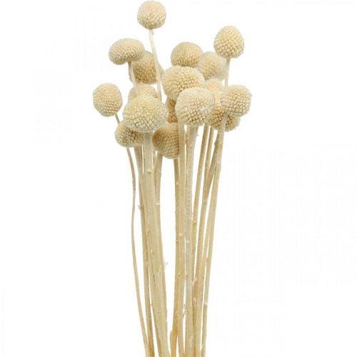 Craspedia bacche di panna secca floristica secca 20pz