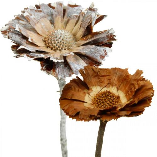 Exotic Mix Protea Rosette Natural, White Washed Dry Flower 10pcs