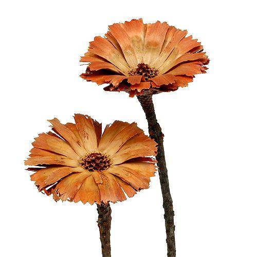 Repens rosetta naturale 6-7 cm 50 pezzi