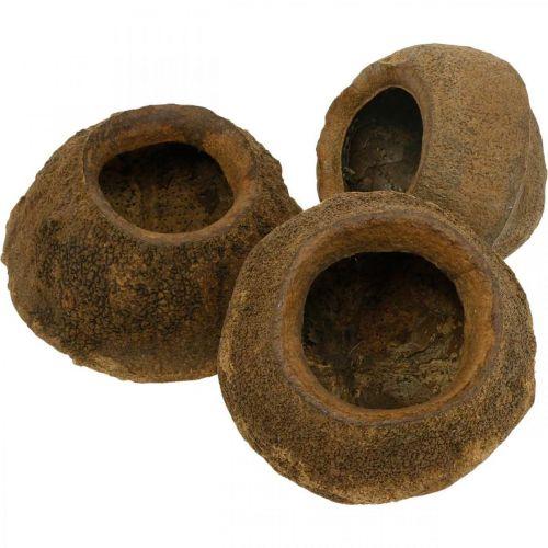 Noce del paradiso da piantare, vaso naturale, Sapucaia per decorare Ø6–7 cm H10,5–11 cm 3 pezzi