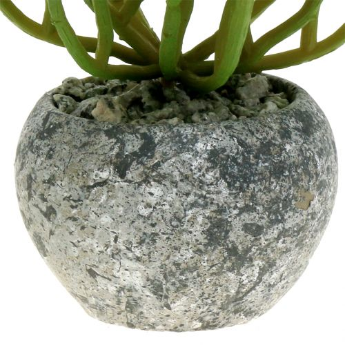 Sedum gallina grassa in vaso 15 cm