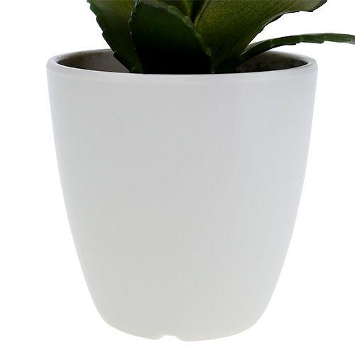 Succulenta in vaso 17 cm verde