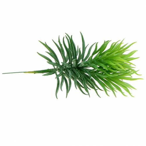 Succulente Senecio ragwort verde 20cm
