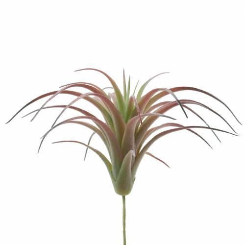 Tillandsia floccata verde-rossa 15cm 4pz
