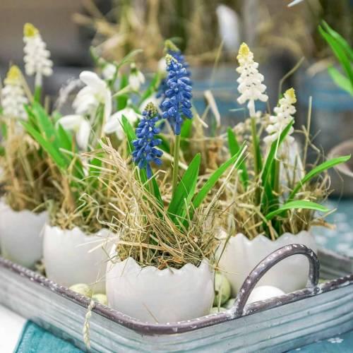 Giacinto d'uva in vaso di betulla blu 24 cm