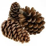 Pinus Pinea grande 14 / 18cm natura 50p